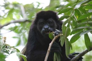 black howlers love leaves and fruit too!